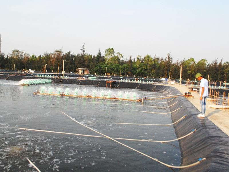 Giá Bạt Lót Hồ Cá - Bạt Lót Hồ Nuôi Cá Rô Phi - Cá Giống Thủy Sản